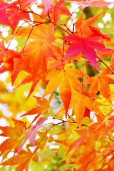もみじ モミジ 椛 紅葉 葉 もみじの葉 椛の葉 モミジの葉 木の葉 木 赤い 赤 紅い 紅 赤色 紅色 red レッド 十一月 11月 秋 秋色 autumn 手 掌 手の平 もみじの手 モミジの手 染まる 風景 景色 景観 壁紙 背景 テクスチャ 素材 キレイ 綺麗 きれい 美しい 秋の景色 秋の代表 秋の紅葉 華やか 鮮やか 艶やか 紅い葉 赤い葉 葉っぱ リーフ leaf 初秋 オレンジ オレンジ色 orange 朱色