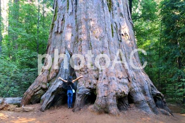アメリカの大木・セコイアの写真