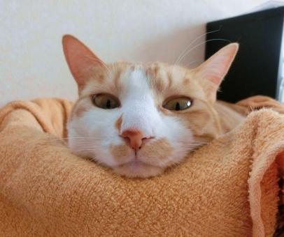 猫 ネコ 顔 アップ カメラ目線 視線 見つめる 考え中 考え事 悩む 悩み中 うーん やる気なし 無表情 しらけ顔 ピンクの鼻 パーツ うとうと だらける くつろぐ 寛ぐ 家猫 飼い猫 室内猫 パーツ ピンクの鼻 退屈 不満げ しらけ顔 れん