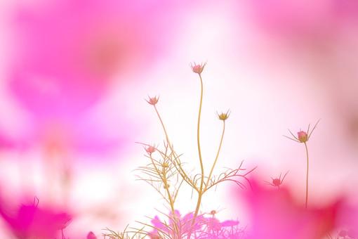 秋の風景 コスモス アキザクラ 秋桜 花畑 花園 がく つぼみ 葉 桃色 ピンク 黄色 緑 アップ 接写 植物 花 草花 散歩 散策 自然 風景 景色 真心 のどか 鮮やか 華やか 美しい 綺麗 可愛い 明るい ボケ味 ピントぼけ ぼかし イメージ