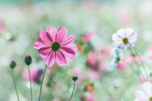 秋の花、コスモスですの写真