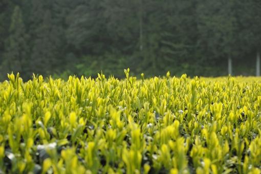 茶 茶畑 新緑 5月 里山 新茶 greentea tea 煎茶 日本茶 せん茶 初夏 和 茶の芽 芽 八十八夜