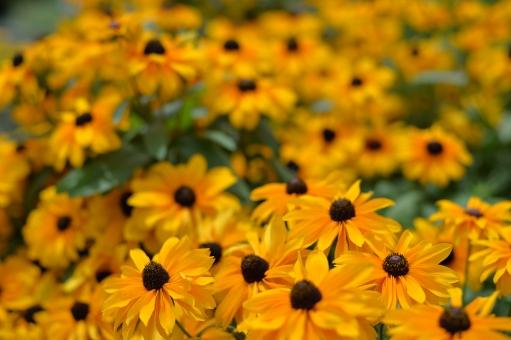 大反魂草 キク科 花 オレンジ 橙 黄色 植物 多年草 群生