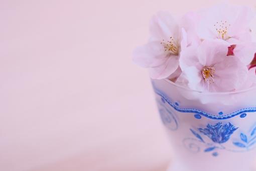 桜 さくら サクラ 花びら 花弁 素材 薄紫色 グラス インテリア 飾り オブジェ コピースペース 日暮れ 屋内 植物 花 小物 雑貨 イメージ 儚い 春 散る 赤紫色 薄紅色 ピンク 染まる 日本 和風 sakura japan