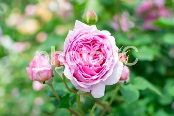 ピンク色の幾重にも重なる花びらが美しいバラの写真