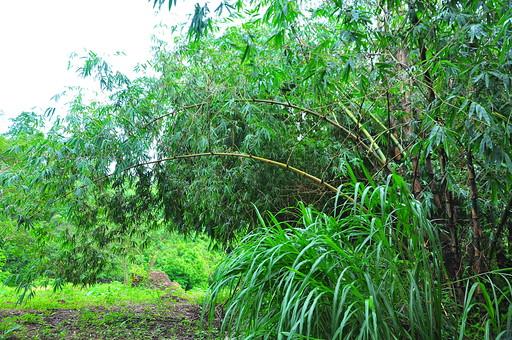 自然  風景  景色  スナップ  旅  旅行  外国  海外  思い出  レジャー  海外  異国 観光  文化  歴史  遺産  南国  パラダイス  リゾート  アジア 東南アジア フィリピン フィリピン共和国 島国 森林 植物 森林浴 木 のどか 休息