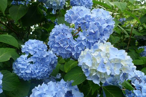 あじさい 紫陽花 アジサイ 花 植物 フラワー 種子植物 花弁 花びら 生花  葉 葉っぱ 緑 草 移り気 浮気 ほらふき 変節 無情 冷淡 高慢 辛抱強い愛情 強い愛情 元気な女性 6月 7月 梅雨 夏