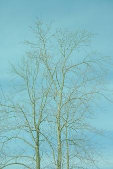 自然 植物 木 樹木 葉 葉っぱ 重なる 交差する 幹 枝 枯れる 成長 育つ 伸びる 曲がる そびえる 高い 広い 空 青空 晴天 晴れ 天気 加工 無人 室外 屋外 風景 景色