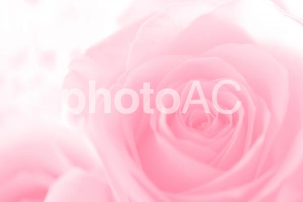 優しいピンクのバラ 2の写真
