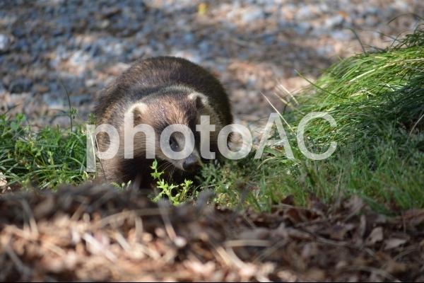 野生のニホンアナグマの写真
