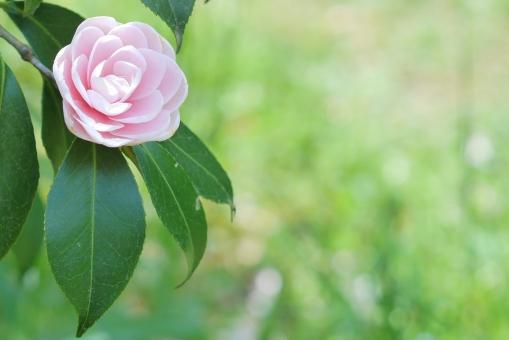 オトメツバキ 乙女椿 おとめつばき 椿 植物 ピンクの花 春の花 春 自然 可愛い 庭 和 和風 ガーデニング コピースペース 日本 正月 お正月 年賀状 テキストスペース テクスチャー テクスチャ 桃色 壁紙 ピンク 花 背景 背景素材 明るい