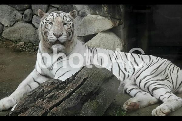 白いトラの写真