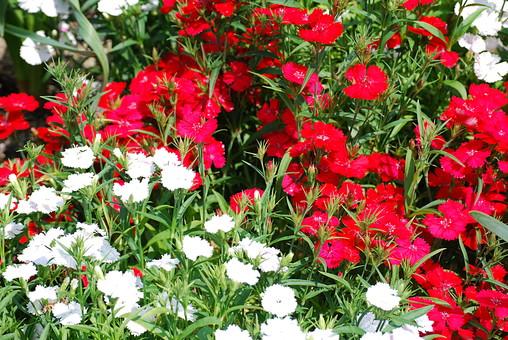 花 花畑 白い花 赤色の花 風景 自然 植物 赤 あか  白 しろ 草  野原 草原 無人 風景 草むら 原っぱ 植物 野生  屋外 葉 背景 バックグラウンド 群生 沢山 満開 細かい 小さい かわいい ガーデニング