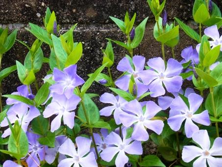 蔓日々草 ツルニチニチソウ 日日草 ニチニチソウ 紫 緑 灰色 春 道端 道草 花 植物
