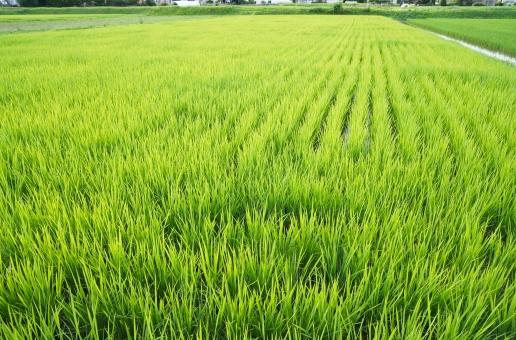 たんぼ 田んぼ 背景 テクスチャ 稲作 田園風景 米 水田 緑 植物 穀物 白米 玄米 農業 農家 兼業農家 こめ みどり 生産 日本 風景 夏 初夏 刈り取り いね 稲