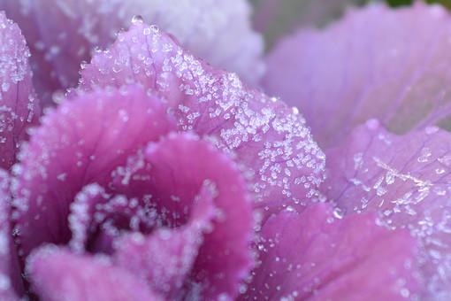 冬 雪 結晶 葉牡丹 ハボタン はぼたん 正月 新年 門松 アブラナ科 アブラナ属 多年草 園芸植物 鮮やか 葉 鑑賞 一年草 草花 同心円状 アントシアニン 花 植物 自然 葉っぱ 紫 むらさき
