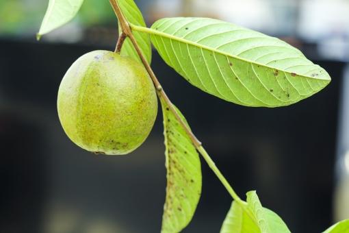 植物 果実 実 枝 葉 葉っぱ 自然 野生 アップ 屋外 外 自生 丸い実 青い実 葉脈 斑点 伸びる 育つ 小枝 丸い 収穫 実り 種 茎 緑