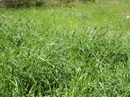 草 緑 草むら 青い 芝生 庭 公園 茂る 繁茂 命 生命力 雑草 植物 グリーン 春 夏 夏草 元気 太陽 光 晴れ エネルギー 力強い 生き生き 自然 grass green
