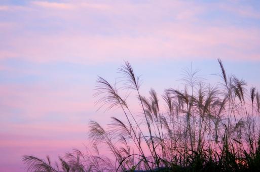 ススキ 芒 薄 すすき イネ科 植物 秋の七草 秋 夕空 空 夕焼け 夕方 黄昏 影 シルエット 風景 景色 スカイ sky 自然 背景 空多め ススキと空