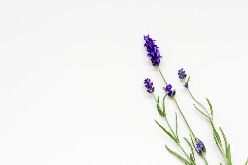 ラベンダー 紫 緑 花 アロマ アロマテラピー アロマセラピー 植物 芳香 香り 癒し  リラックス 白バック テキストスペース