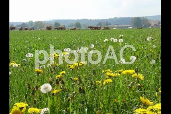 春の牧場と放牧中の牛の写真