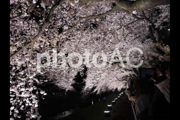 夜桜3の写真