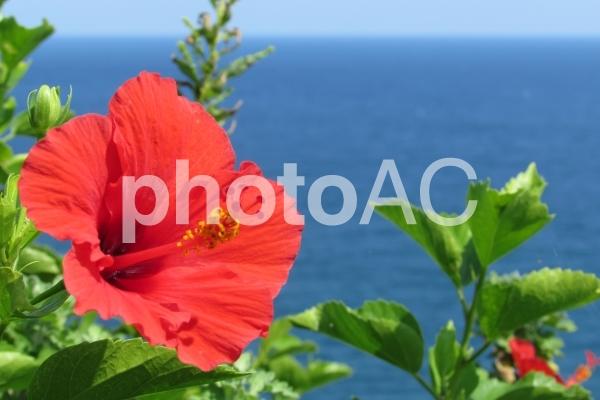 ハイビスカスと海の写真