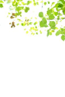 葉 緑 木 新緑 新芽 日本 木の葉 自然 植物 屋外 壁紙 背景 背景素材 バックグラウンド 光 青空 環境 エコ  枝 さわやか 爽やか 初夏 若葉 スペース テキストスペース
