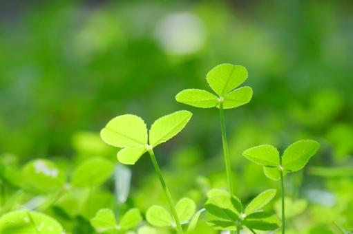 クローバー しろつめくさ シロツメクサ 白詰草 野原 四つ葉 テクスチャー 癒し 草 草原 花 草花 四月 五月 六月 素材 りラックス いやし マクロ クローズアップ アップ 接写 美容 エステ 4月 5月 清潔 涼しい 涼しげ グリーン 青葉 若葉 爽やか さわやか コピースペース 春 リラクゼーション リラックス 緑 青 ブルー 夏 初夏 光 明るい イメージ 健康 清々しい 5月 6月 7月 背景 壁紙 背景素材 テキストスペース バック バックグラウンド 背景画像 背景写真 葉っぱ 新緑 6月 7月 8月 4月 清涼 爽快 自然 風景 景色 みどり 公園 葉 植物 屋外 戸外 エコ 環境