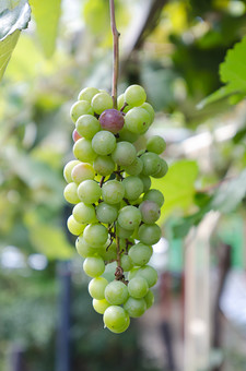 ぶどう ブドウ 葡萄 秋 マスカット ワイン ぶどう狩り 葡萄狩り 行楽 豊作 果物 果実 くだもの 食べ物 植物 栽培 ぶどう園 葡萄園 実 種 棚 農業 季節 房 緑