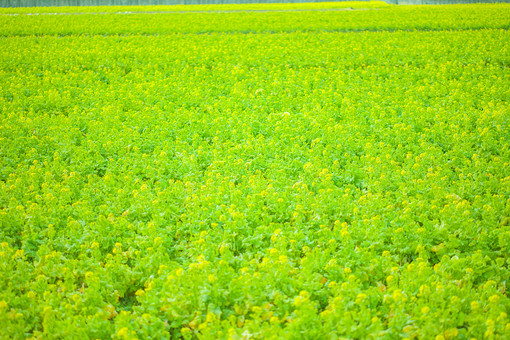 自然 植物 葉 葉っぱ 春 緑 黄緑 黄色 花 菜の花 菜の花畑 綺麗 コントラスト 鮮やか 爽やか 草 野生 野草 野花 草原 野原 原っぱ 広い 広大 壮大 一面 無人 室外 屋外 風景 景色 幻想的