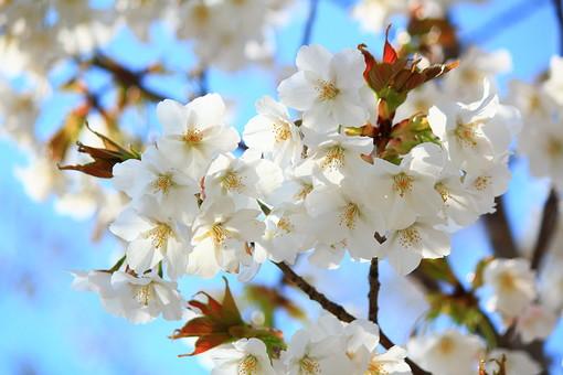自然 環境 風景 景色 スナップ 旅行 植物 緑 木 花 植物園 公園 庭園 行楽 散歩 発見 小道 桜 春 日本 和風 小さい 人気 たくさん 群生 枝 枝分かれ 小枝 花見 宴会