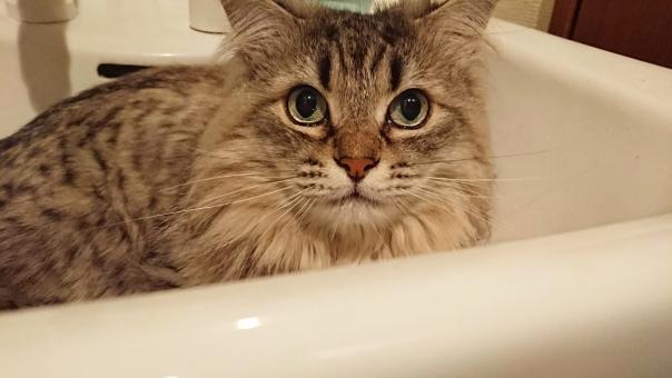 ペルシャ猫の写真素材|写真素材なら「写真AC」無料(フリー