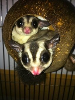 フクロモモンガ 夫婦の写真