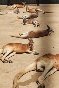 カンガルー 哺乳類 動物 動物園 生き物 飼育 可愛い 毛 毛並み 屋外 外 顔 しっぽ 跳ねる 有袋類 草食動物 オーストラリア 育児嚢 しっぽ  袋 耳 ボクシング 柵 囲い 寝る