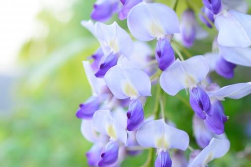 藤 フジ ふじ 花 植物 花びら クローズアップ アップ ふんわり 紫 むらさき 紫の花 壁紙 春 春の花 5月 コピースペース 文字スペース 花言葉 歓迎 離れない
