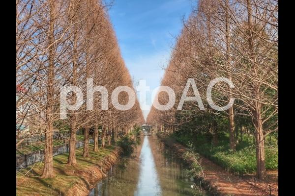 メタセコイア並木の写真