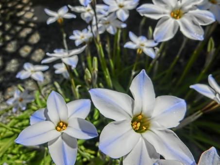 ハナニラ 花韮 花 白 可憐 咲く 開花 アップ 植物 アート撮影 ニラの花 にらの花 ホワイト ブルー 自然 日差し 風景 華やか 見頃 鮮やか