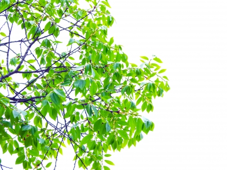 緑 木 樹木 枝 小枝 新緑 葉 葉っぱ はっぱ リーフ 植物 木々 森林 森林浴 グリーン 安らぎ 落ち着き 清々しい さわやか 心地よい 環境 エコ エコロジー 4月 5月 6月 7月 春 晩春 初夏 夏 山 自然 淡い 雰囲気 イメージ デザイン 明るい 青々 生い茂る 切り抜き パス クリッピングパス デザインパーツ 部品 パーツ 素材 材料
