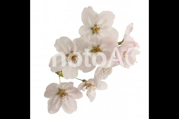 切り抜き写真素材 桜の花びら 16-03の写真