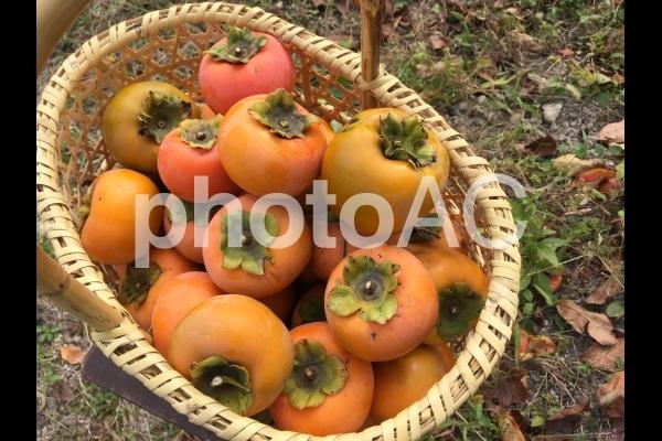柿 秋 収穫の写真