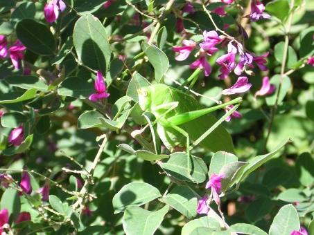 自然 風景 生物 植物 ハギ 昆虫 クダマキモドキ 五色台 香川県