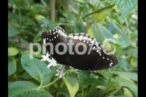 白い花の上にとまる黒蝶の写真