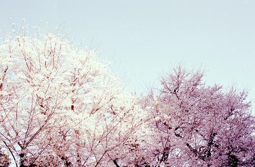 風景 景色 自然 情景 桜の木 桜の花 満開 植物 樹木 広葉樹 桜並木 空 春 季節 四季 入学 入学式 卒業 卒業式 合格 思い出 ピンク 桃色 和 日本