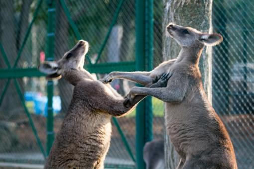 カンガルー 哺乳類 有袋類 動物 草食動物 アニマル 袋 ボクシング パンチ 殴り合い 喧嘩 ケンカ 闘い 戦い 闘争 本能 オーストラリア タスマニア ニューギニア ジャンプ