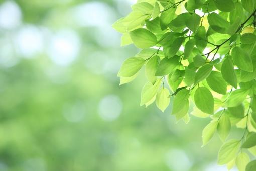 自然・風景 植物 樹木 木の葉 新緑 若葉の季節 初夏イメージ 夏 五月・六月 七月・八月 グリーン 若草色 光透過光 木漏れ日 背景 グリーンバック 暑中見舞い 夏景色 新鮮 みずみずしい 初々しい 元気はつらつ 元気いっぱい 待ち受け画面 ポストカード 眩しい コピースペース 野外アウトドア 清潔感 森・林