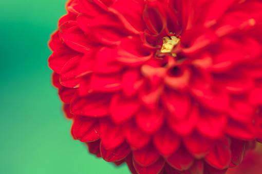 自然 植物 花 花びら 重なる 多い 密集 集まる 沢山 丸い 球体 赤 黄色 花粉 満開 咲く 開花 開く 茎 緑 成長 育つ 伸びる ぼやける ピンボケ アップ 加工 無人 屋外 室外 風景 景色 見頃 可愛い 鮮やか 綺麗 華やか 美しい 幻想的