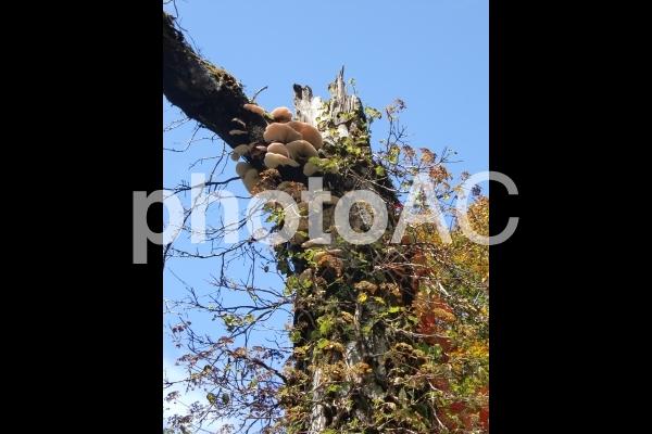 秋に木の幹に生えるキノコの写真