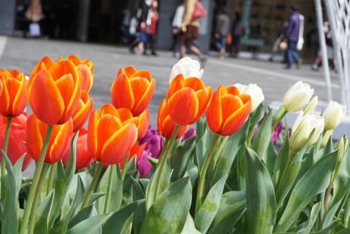 春 晴天 植物 花 はな ハナ 花壇 道 路上 町中 チューリップ