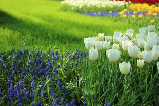 チューリップ tulip 白い花 爽やか 可愛い カラフル 楽しい ワクワク 元気 可憐 春 4月 お花畑 花壇 園芸 花 コバルトブルー 公園 陽だまり お昼寝 妖精 芝生